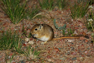 Mongolian gerbil (Meriones unguiculatus) in its natural habitat,  the Northern Gobi Desert, Mongolia, August. This species is commonly kept as a pet.