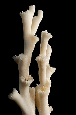 Hard coral (Lophelia pertusa) from the deep sea Atlantic Ocean.