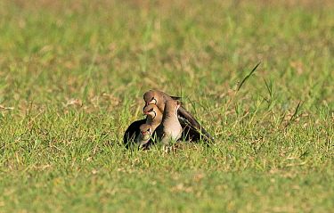 'Pyramid' of three Collared pratincoles (Glareola pratincola) attempting mate with each other, with adult brooding chick (unseen in this photograph) at the bottom, and one more watching on. Ba...