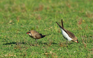 Collared Pratincoles (Glareola pratincola) engaged in courtship display. female soliciting copulation. Baragem do Caia, Santa eulalia, Elvas, Portugal, May.