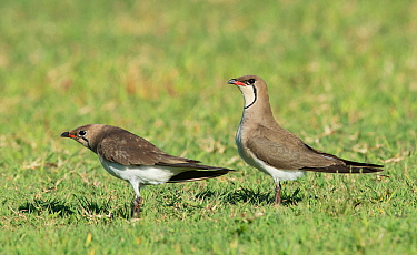Collared Pratincoles (Glareola pratincola) in courtship display, female soliciting copulation. Baragem do Caia, Santa eulalia, Elvas, Portugal, May.