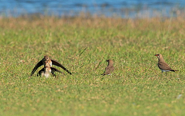 'Pyramid' of three Collared pratincoles (Glareola pratincola) attempting mate with each other, with adult female brooding chick at the bottom, with two more watching on. Baragem do Caia, Santa...
