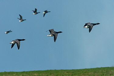 Small flock of Brent Geese (Branta bernicla) in flight..Texel Island, The Netherlands, Europe