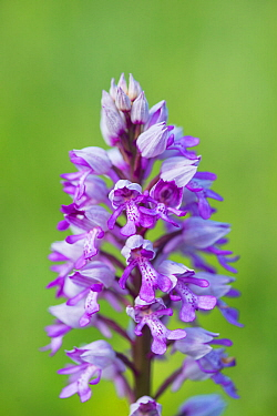 Military orchid (Orchis militaris) flower, Buckinghamshire, England, UK, May.