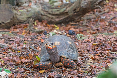 Red-footed tortoise (Chelonoidis carbonaria) Barbados.