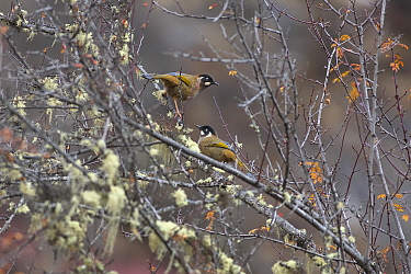 Black-faced laughingthrush (Garrulax affinis) on branch, Mount  Namjagbarwa, Yarlung Zangbo Grand Canyon National Park, Nyingchi Prefecture, Tibet, China. November.