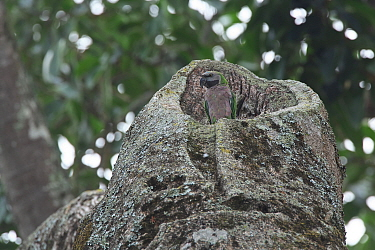 Derby's parakeet (Psittacula derbiana) in nest cavity, Simao Prefecture, Yunnan Province, China. May.