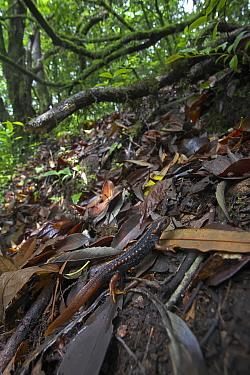 Crocodile newt (Tylototriton verrucosus) in leaf litter, Gaoligong Mountain National Nature Reserve, Tengchong county, Yunnan Province, China. May.