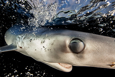 A Blue shark (Prionace glauca) just below the surface, with nictitating membrane partially shut to protect its eye, Hauraki Gulf, Auckland, New Zealand, June.