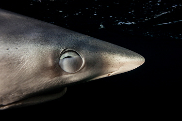 Blue shark (Prionace glauca) with nictitating membrane partially shut to protect its eye, Hauraki Gulf, Auckland, New Zealand, June.