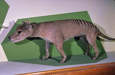 Thylacine (Thylacinus cynocephalus) specimen in Launceston Museum, Tasmania, Australia.