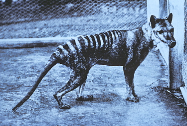 Historical photograph of the last Thylacine (Thylacinus cynocephalus) in Hobart Zoo, Tasmania, Australia. Extinct species.