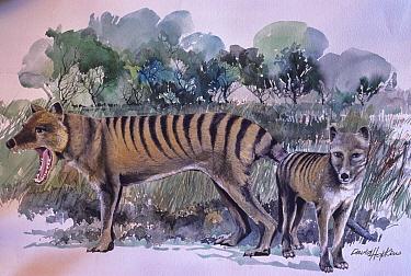 Painting of a Thylacine (Thylacinus cynocephalus) by David Hopkins. Extinct species.