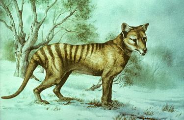 Painting of a Thylacine (Thylacinus cynocephalus) by Diane Green. Extinct species.