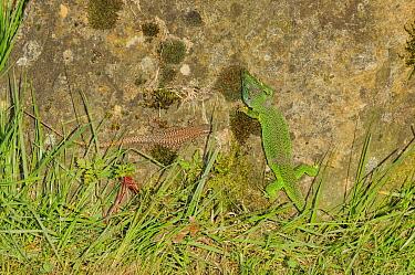 European green lizard (Lacerta viridis) and European wall lizard (Podarcis muralis) France, April.