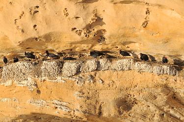 Hermit ibis (Geronticus eremita) colony, near Tamri, Morocco. Critically endangered.