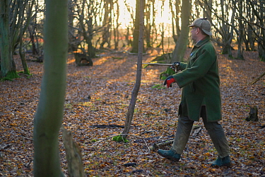 Beater tapping his stick on a tree to drive Ring-necked pheasants (Phasianus colchicus) towards waiting guns during a winter shoot on shooting estate, southern England, UK. January.