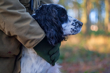 Spaniel gundog held by its owner, during a winter shoot on shooting estate, southern England, UK, January.