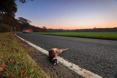 Ring-necked pheasant (Phasianus colchicus) male lies dead on the side of a road near shooting estate, southern England, UK. November. Of the millions of pheasants released into the British countryside...