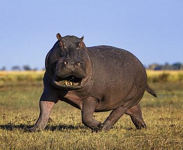 Hippopotamus (Hippopotamus amphibius) charging, Chobe National Park,  Botswana, July.