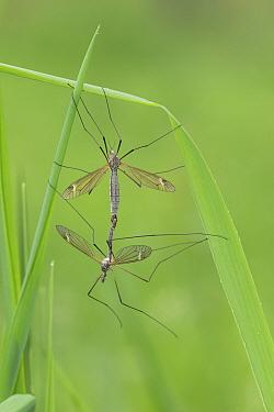 Craneflies (Tipula speceis) mating, Groot Schietveld, Wuustwezel, Belgium, May.