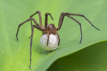 Nursery web spider (Pisaura mirabilis) carrying eggs, Brasschaat, Belgium, June.