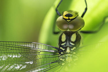 Southern hawker (Aeshna cyanea) close up of eyes, thorax and wing, Brasschaat, Belgium, July.