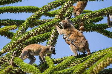 Ring tailed lemurs (Lemur catta) feeding on Spiny forest tree (Didierea trollii).Berenty Private Reserve, Madagascar