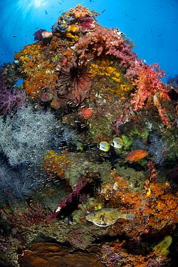 Colourful reef scene with Coral grouper (Cephalopholis miniata), map puffer (Arothron mappa) and Panda butterflyfish (Chaetodon adiergastos). Tank Reef, Fiabacet Islands, Misool, Raja Ampat, Indonesia...