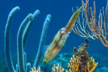 Caribbean reef squid (Sepioteuthis sepioidea) amongst gorgonians, on a shallow coral reef. Cayman Brac, Cayman Islands. Caribbean Sea.