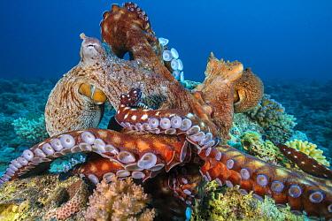 Reef octopus (Octopus cyanea) two fighting, (probably males) Gubal Island, Egypt. Red Sea.