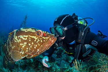 Nassau grouper (Epinephelus striatus) with photographer Alex Mustard, Bloody Bay Wall, Little Cayman, Cayman Islands. Caribbean Sea. Model released.