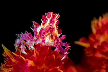 Candy crab (Hoplophrys oatesi), with soft coral polyps stuck to its body, on soft coral (Dendronepthya sp) at night.  Yillet Kecil, Yillet Islands, Misool, Raja Ampat, West Papua, Indonesia. Ceram Sea...