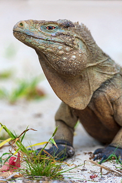 Cayman Islands blue iguana (Cyclura lewisi) Little Cayman, Cayman Islands.