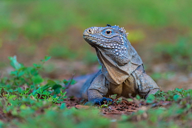 Cayman Islands blue iguana (Cyclura lewisi) with fly on its head, Little Cayman, Cayman Islands.