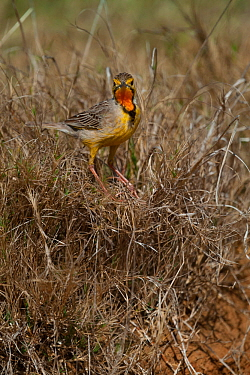 Cape longclaw (Macronyx capensis) in grassland, Kariega Game Reserve, Eastern Cape, South Africa.