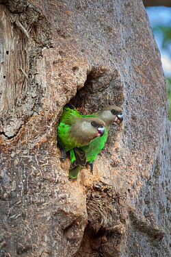 Brown-headed parrots (Poicephalus cryptoxanthus) perched in the entrance to their nest in the trunk of a Baobab tree (Adansonia digitata),  Kruger National Park. South Africa.