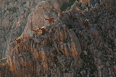 Apennine chamois (Rupicapra pyrenaica ornata) females and kids resting on rocky slope. Endemic to the Apennine mountains. Abruzzo, Italy, July.