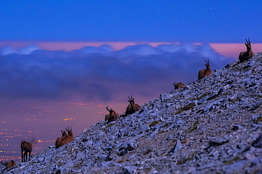 Apennine chamois (Rupicapra pyrenaica ornata) herd resting on altitude plateau of Majella Massif, in moonlight with distant urban lights in the background. Endemic to the Apennine mountains. Majella N...