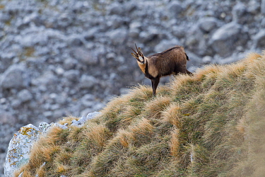 Apennine chamois (Rupicapra pyrenaica ornata) adult male. Endemic to the Apennine mountains. Abruzzo, Italy, November.