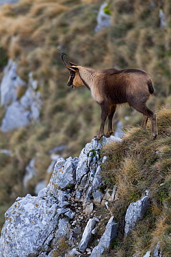 Apennine chamois (Rupicapra pyrenaica ornata) adult male grunting during the rut. Endemic to the Apennine mountains. Abruzzo, Italy, November.