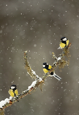 Great Tits (Parus major) in falling snow perched on a branch, Martinselkonen, Finland, April