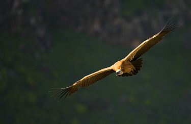 Griffin Vulture (Gyps fulvus) in flight, Northern Israel, January