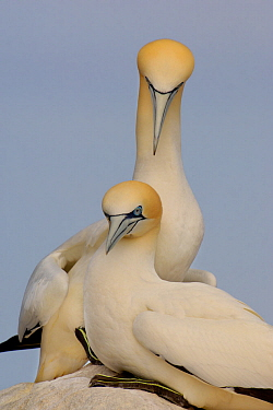 Gannet (Morus bassanus) breeding pair sit together on rock. Saltee Islands, Republic of Ireland, May.