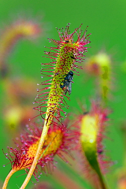 Great sundew (Drosera anglica) with fly, Norfolk, England, UK, June