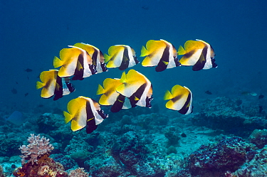 Masked bannerfish (Heniochus monoceros) group above coral reef, Maldives, Indo-West Pacific