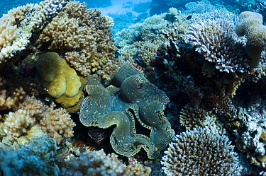 Fluted giant clam (Tridacna squamosa) on coral reef. Maldives, Indian Ocean