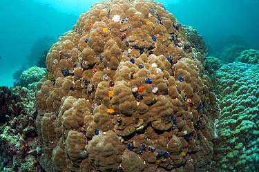 Christmas tree worms (Spirobranchus giganteus) on Porites coral boulder, Andaman Sea, Thailand