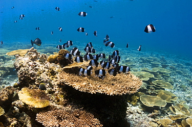 Black pyramid butterflyfish (Hemitaurichthys zoster) over table coral on shallow reef top. Maldives, Indian Ocean