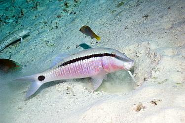 Dash-and-dot goatfish (Parupeneus barberinus) feeding in sand, Andaman Sea, Thailand